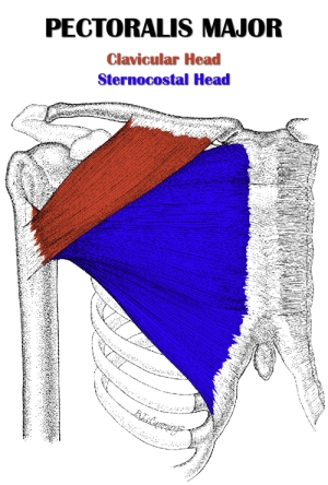 2_pectoralis_major.pg