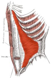 Le muscle transverse des abdominaux