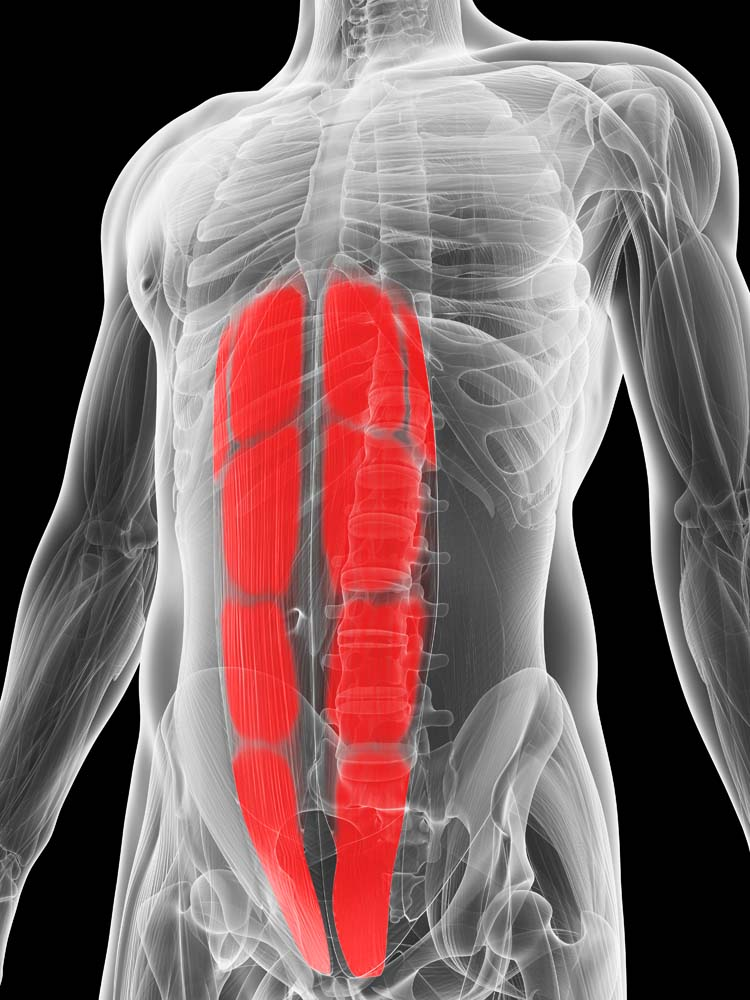 Anatomie abdominaux