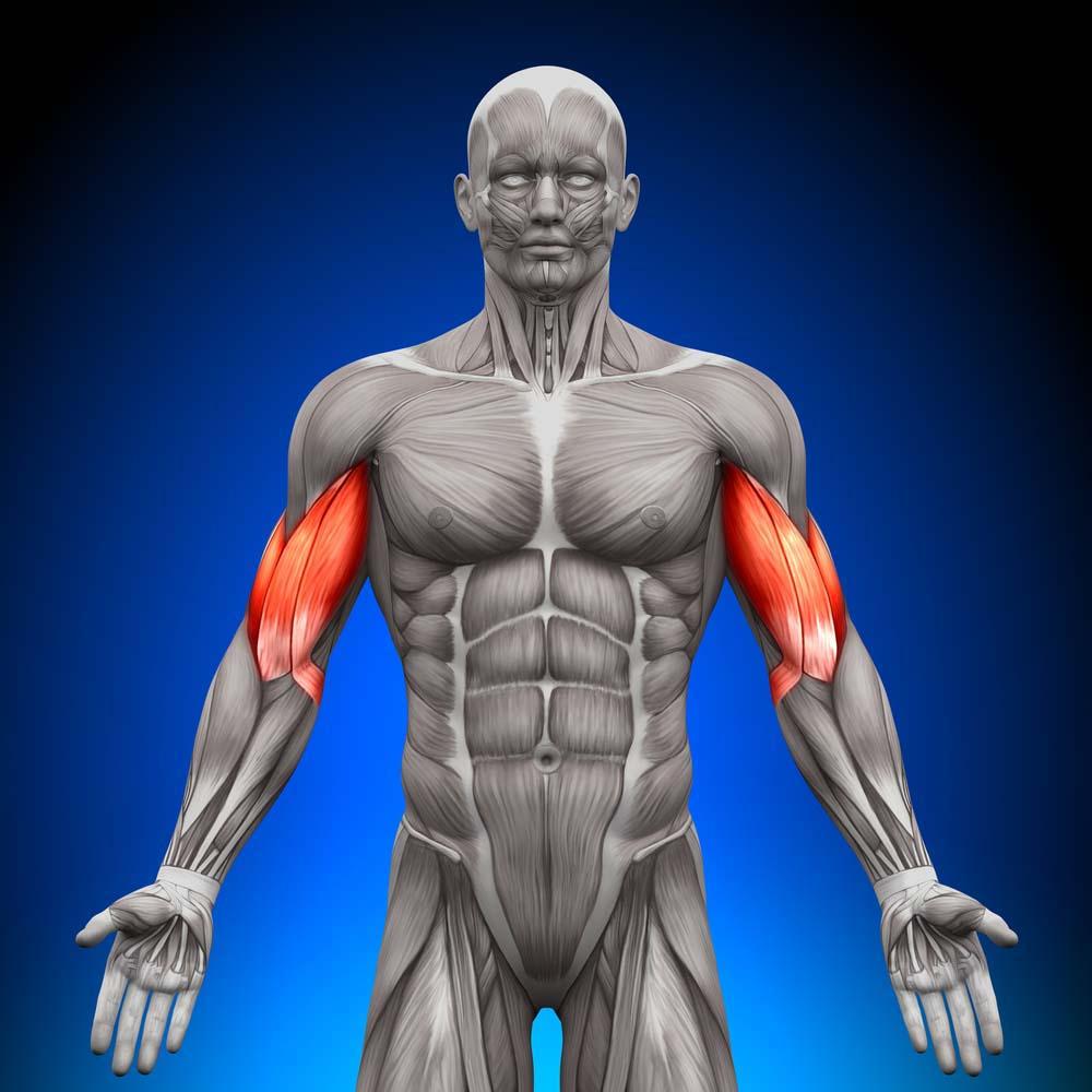 Anatomie des biceps