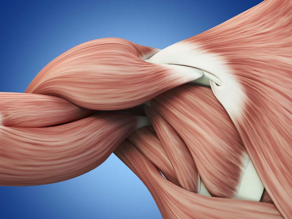 Anatomie des épaules femmes