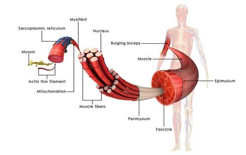 Les fibres musculaire