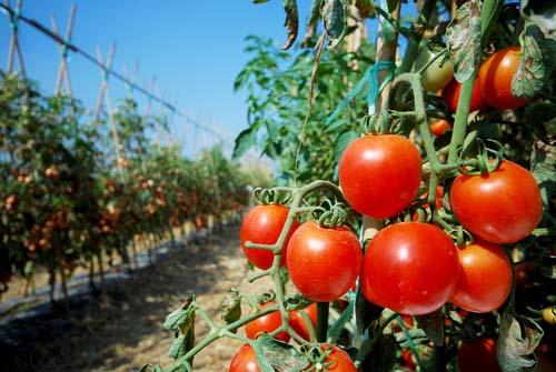 Les vertus de la tomate