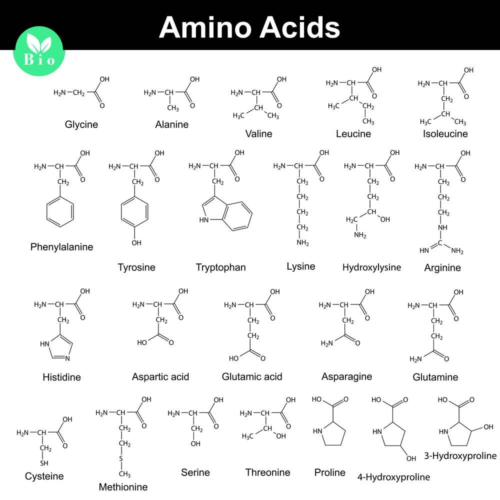 Les acides aminés en musculation