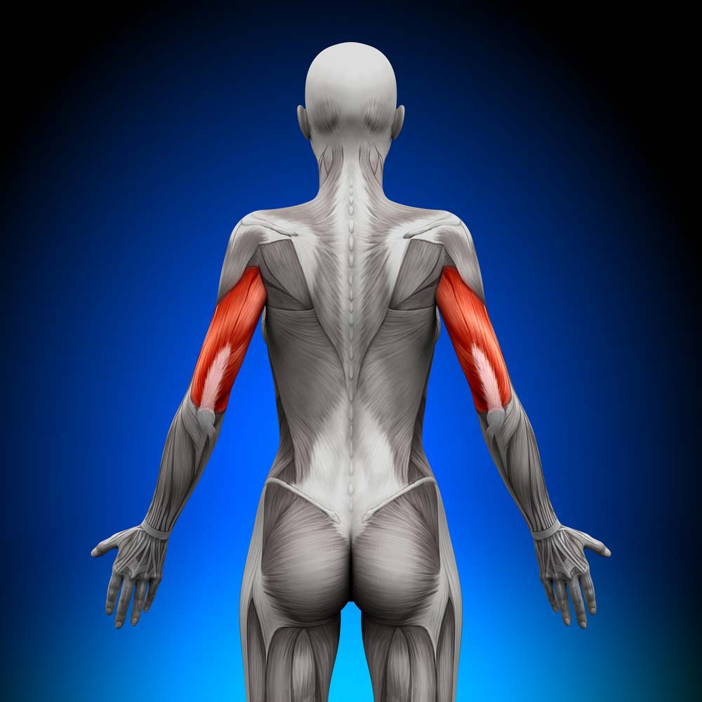 Anatomie triceps