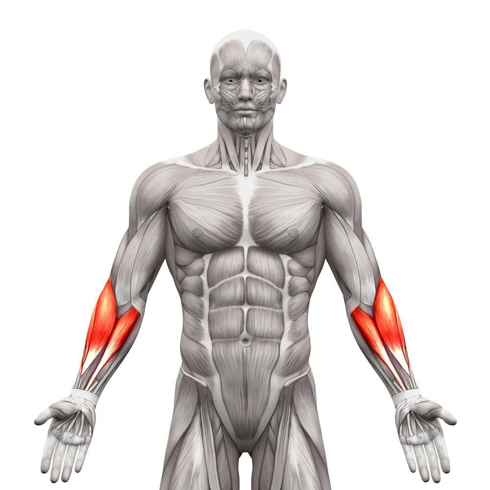 Anatomie des avant-bras