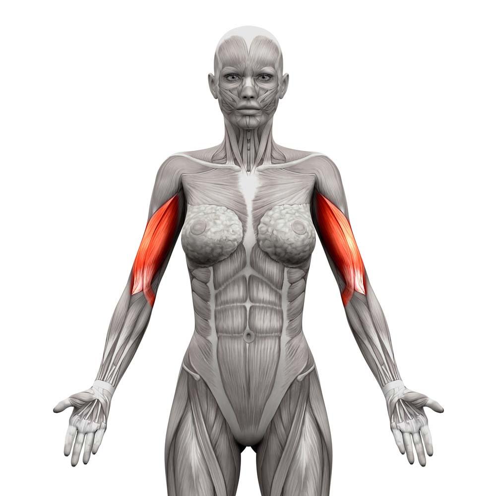 Anatomie biceps femme