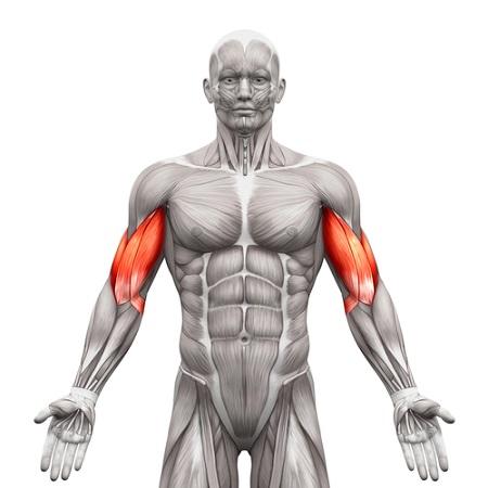 les biceps