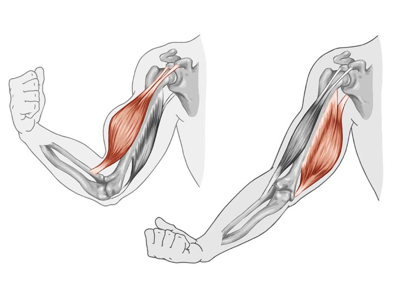 Biomécanique des bras