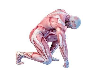 le collagène et la masse musculaire