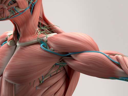 Le rôle de la beta-alanine dans le corps