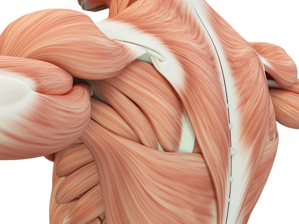Les protéines et la masse musculaire