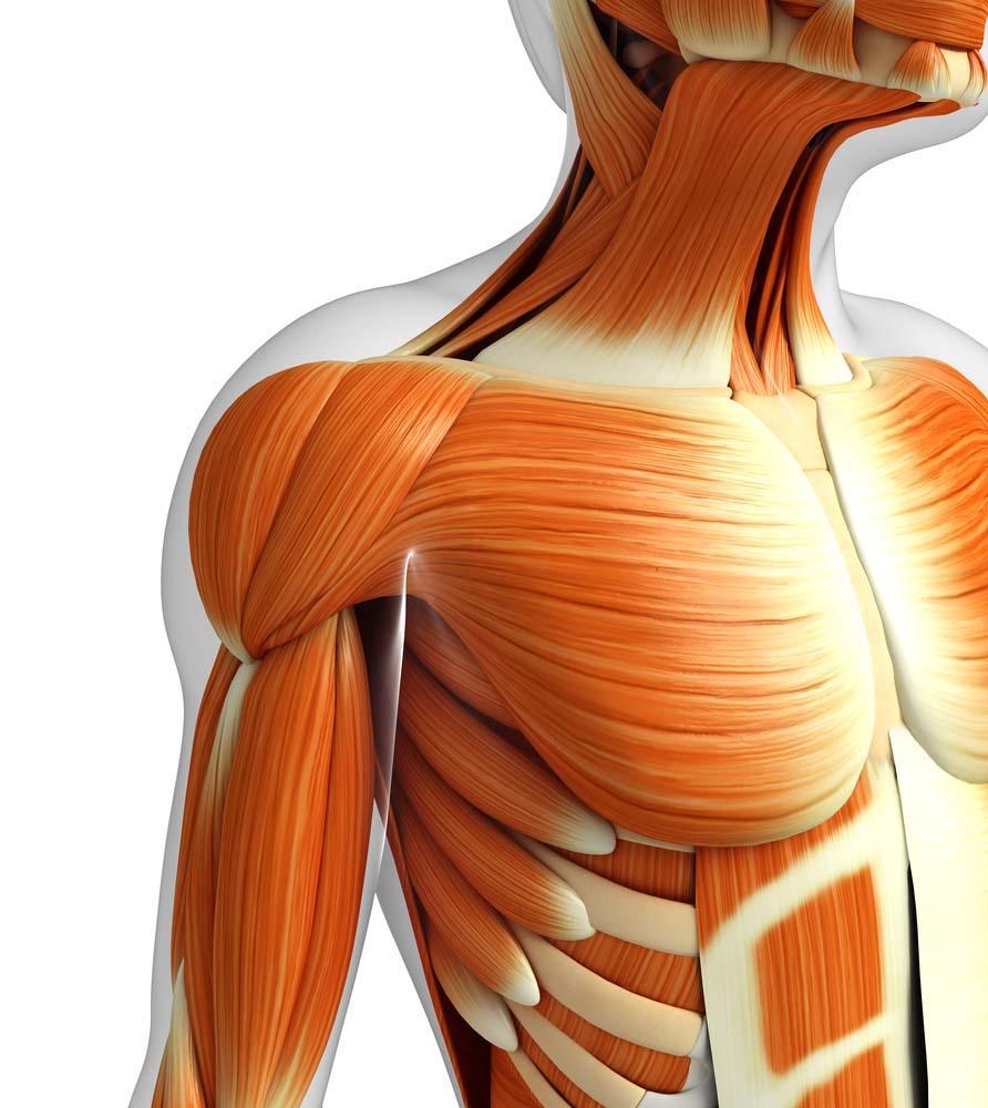 Anatomie pectoraux femmes
