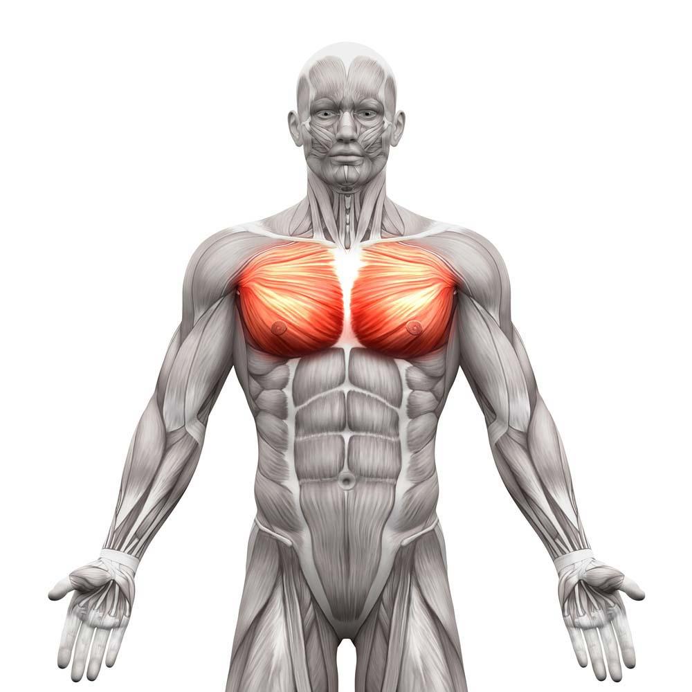 La musculation pour les pectoraux