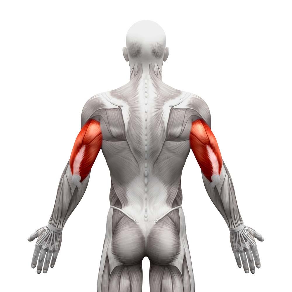 Anatomie des triceps