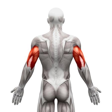 Triceps